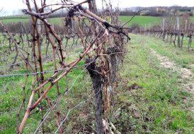 Travaux de la vigne en hiver : taille et tirage