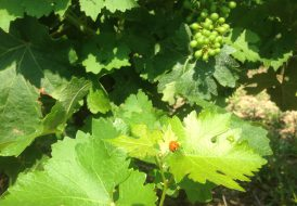 Feuille et grappe de vigne accompagnant l'information sur la récolte 2018 et le millésime 2017 du Château Haut de Lerm